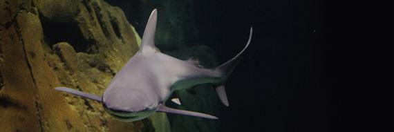 Requin de l'aquarium du Trocadéro