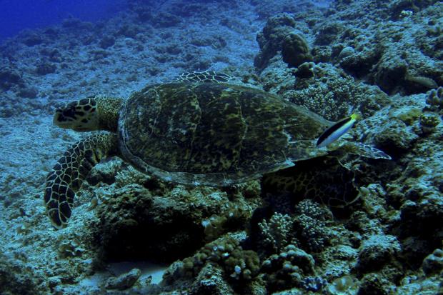 Tortue sous-marine à l'île Maurice