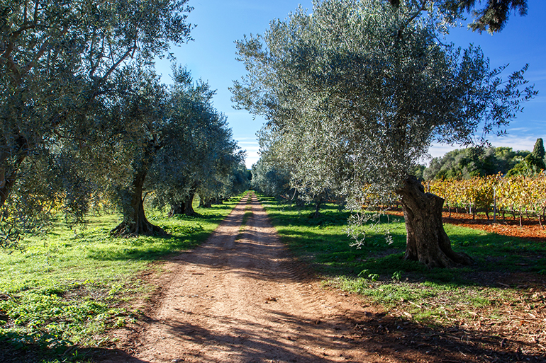 Une allée d'oliviers au milieu des vignes