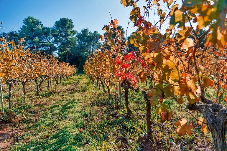 Au milieu des vignes en automne